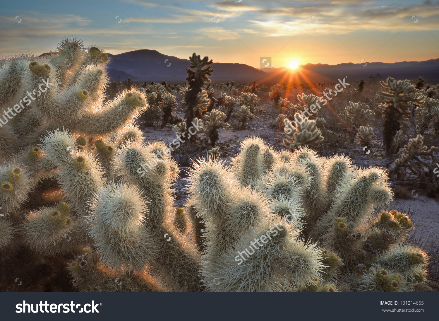 Chollas Cactus Sunrise Joshua Tree National Stock Photo 101214655.
