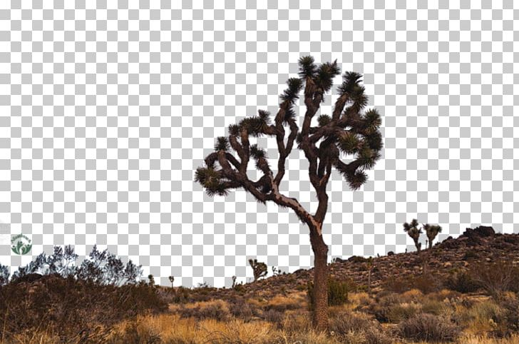 Joshua Tree National Park Desktop PNG, Clipart, Branch, California.