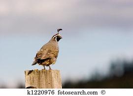 California quail Stock Photos and Images. 232 california quail.