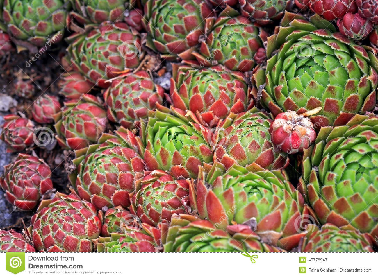 Background Of Jovibarba Globifera Succulent Or Hens And Chicks.