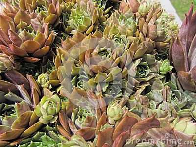 Green Hens And Chicks Succulents Royalty Free Stock Image.