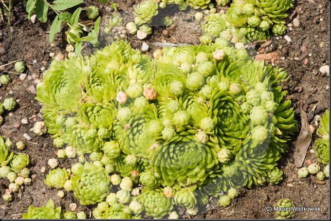 Jovibarba globifera, Sempervivum globifera.