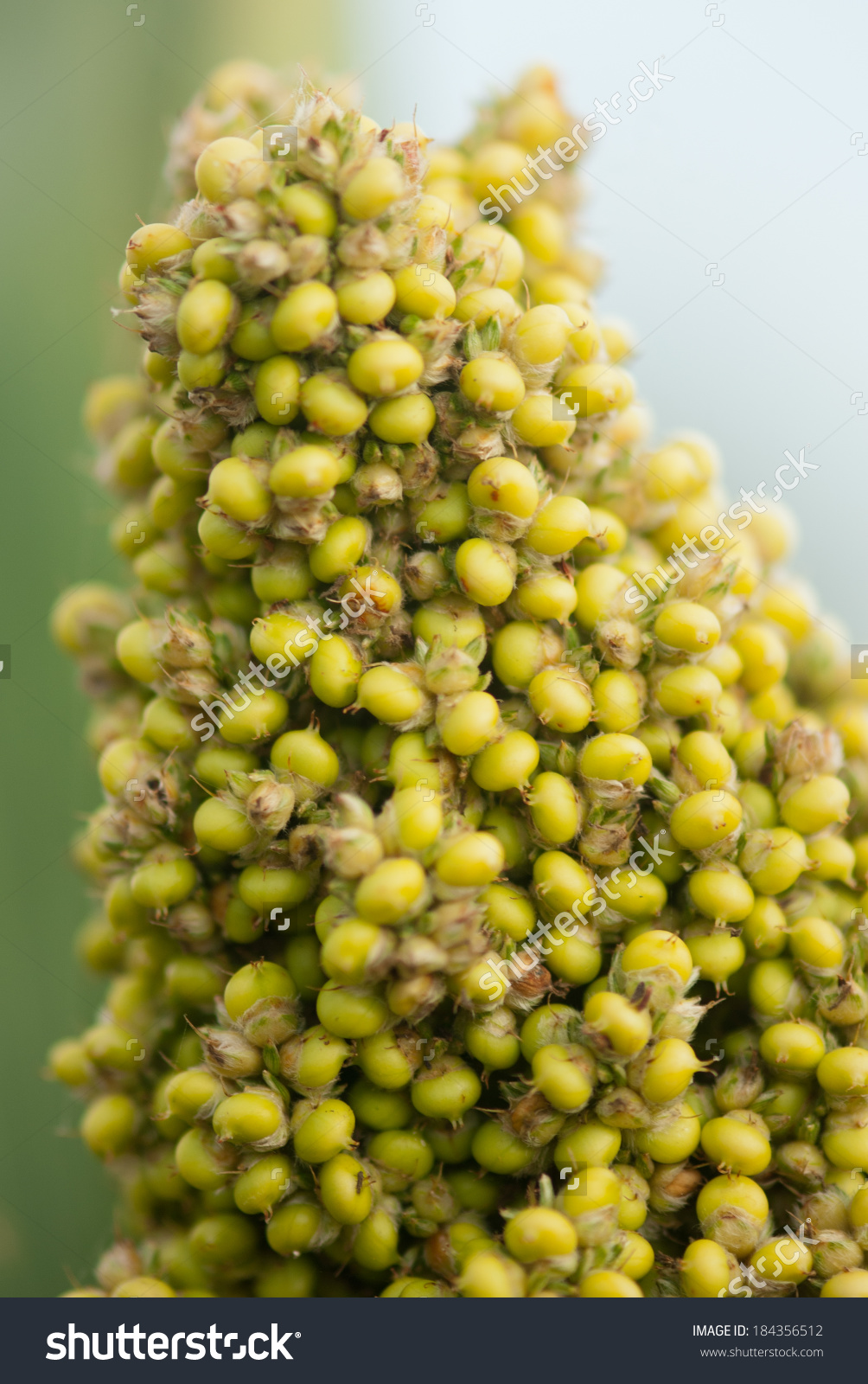 Sorghum Jowar Crop Closeup Rural Village Stock Photo 184356512.
