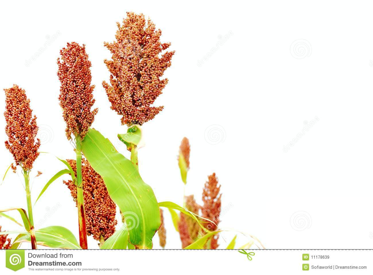 Plants Sorghum Stock Photos, Images, & Pictures.