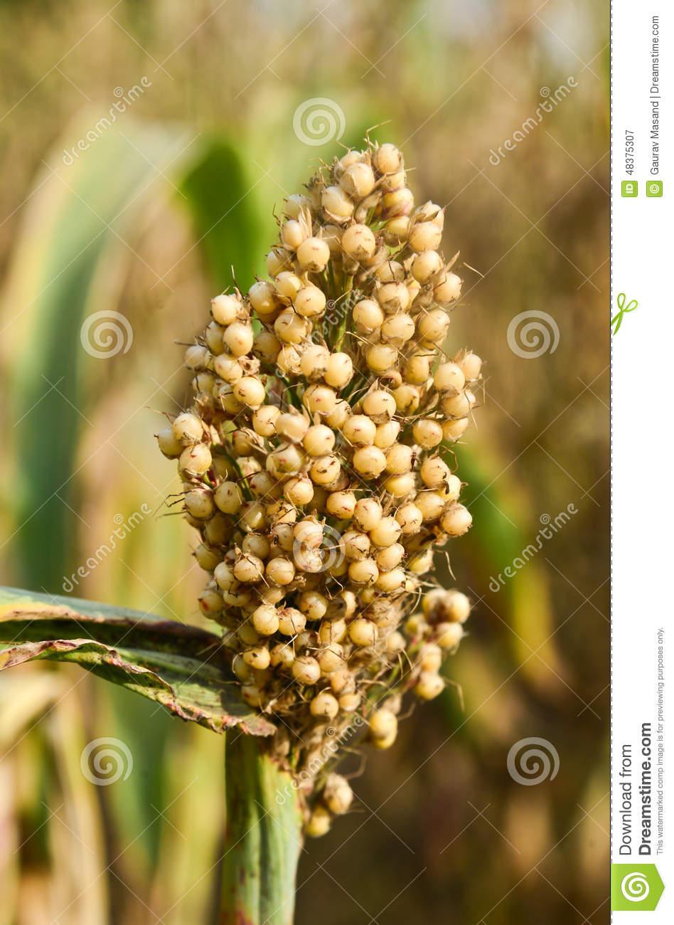 Jowar crop clipart.