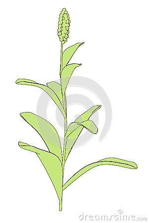 Sorghum Field Stock Illustrations.