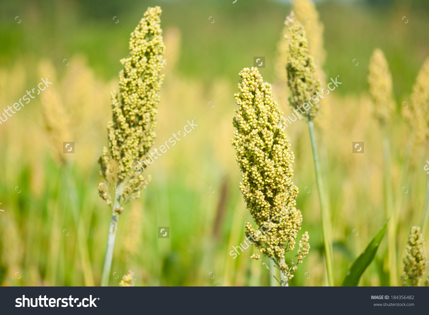 Sorghum Jowar Crop Closeup Rural Village Stock Photo 184356482.