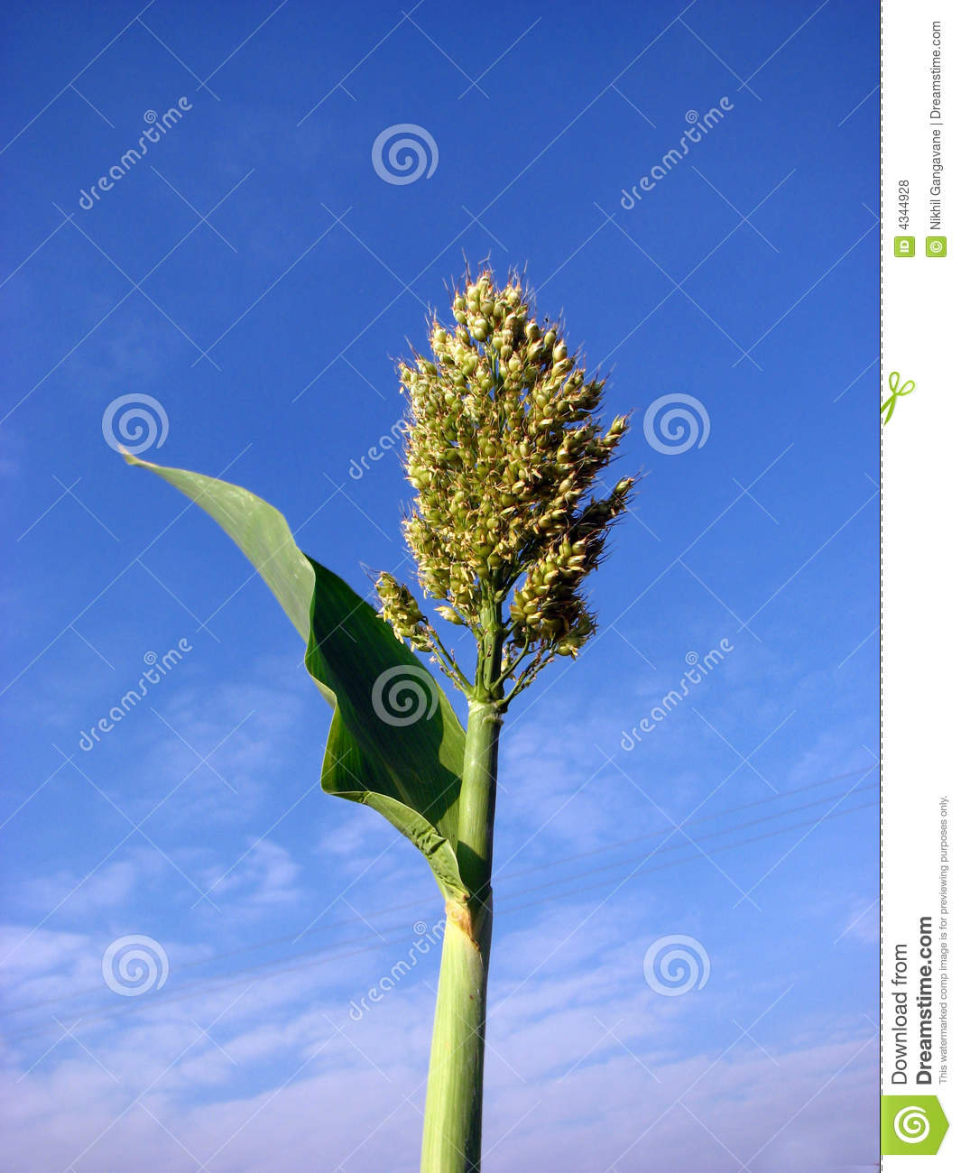 Jowar Royalty Free Stock Photos.