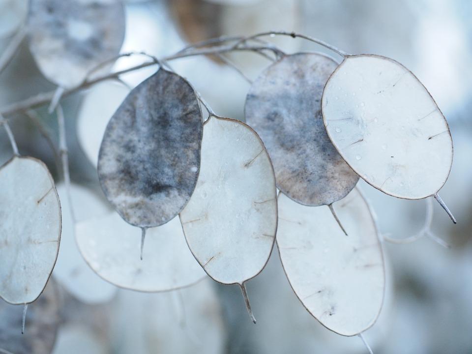Free photo: Silver Leaf, Lunaria, Silberling.
