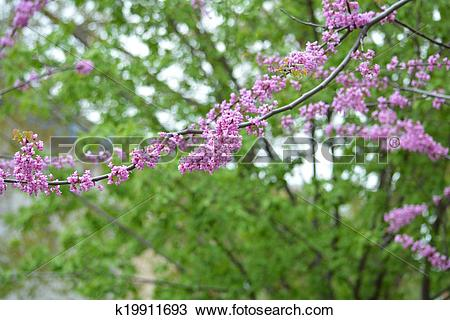 Stock Photo of Judas tree twig k19911693.