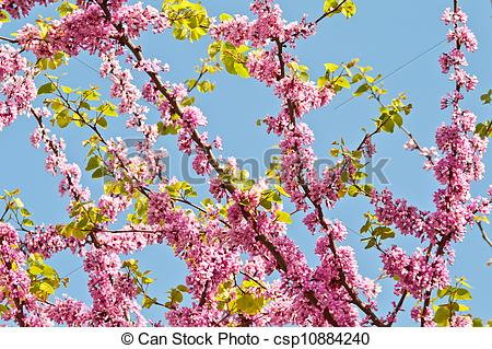 Stock Photo of Judas Tree Flower And Leaves.