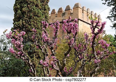 Picture of Judas tree in bloom in Alhambra gardens in Granada.