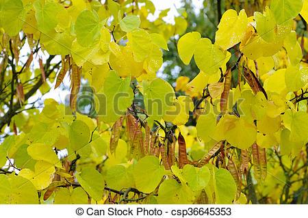 Stock Images of Judas tree in autumn.