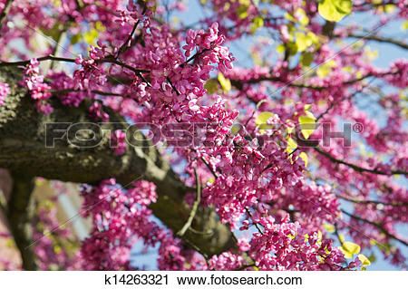 Stock Photography of Pink flowers Judas tree or Cercis.