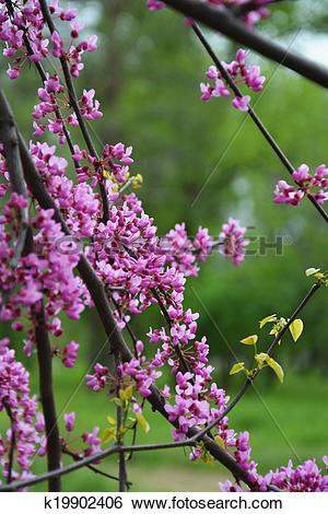 Stock Images of Judas tree branches on green k19902406.