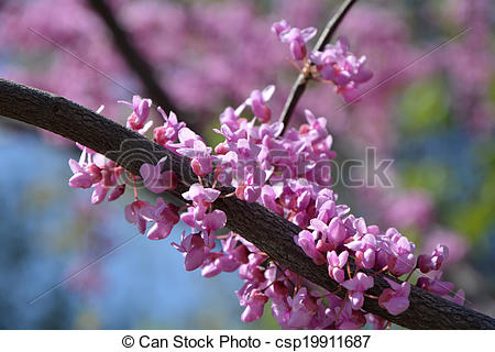 Pictures of Judas tree branches closeup.