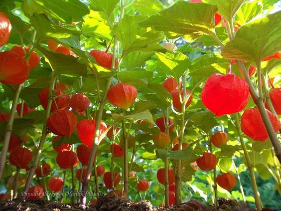 Phsyalis alkekengi, Japanlykt, Solanaceae Søtvierfamilien, STAUDE.