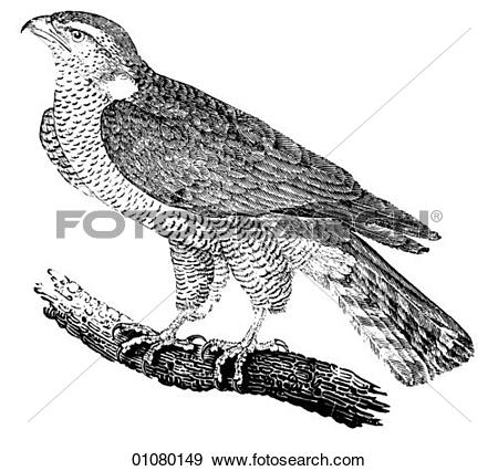 Northern goshawk Stock Photos and Images. 216 northern goshawk.