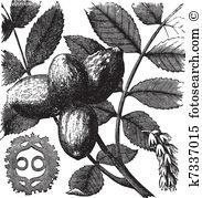 Juglandaceae Gráficos Clip Art 8 juglandaceae clipart e banco de.