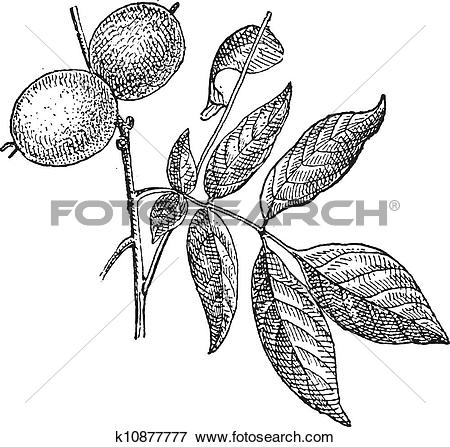 Clip Art of Walnut or Juglans regia, vintage engraving k10877777.