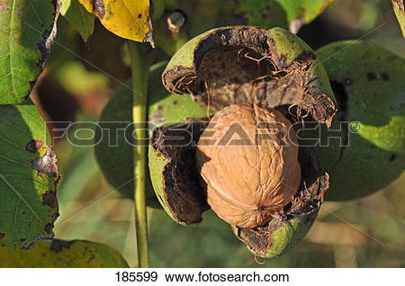 Stock Photograph of English Walnut, Persian Walnut (Juglans regia.