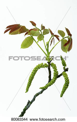 Stock Photo of DEU, 2007: English Walnut, Persian Walnut (Juglans.