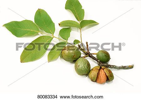Stock Photo of DEU, 2003: English Walnut, Persian Walnut (Juglans.
