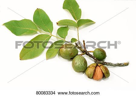 Stock Photo of DEU, 2003: English Walnut, Persian Walnut (Juglans.