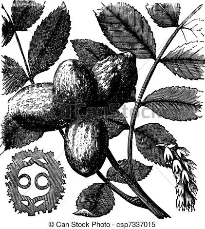 Clipart Vector of Walnut or Juglans sp., vintage engraved.
