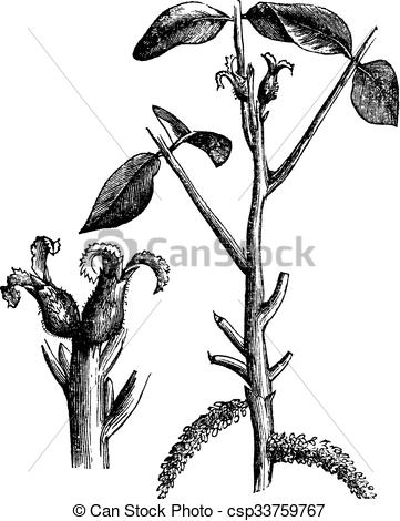 Clip Art Vector of Walnut or Juglans sp., vintage engraved.