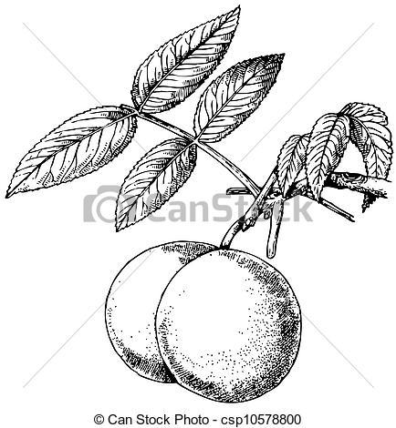 Vector Clipart of Plant Juglans nigra.