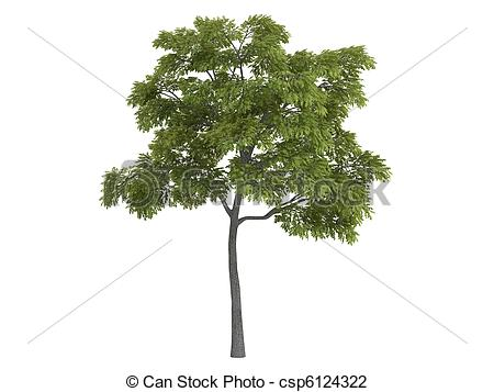 Clip Art of Black walnut or Juglans nigra.