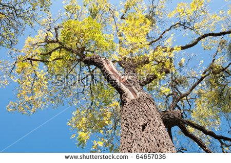 Walnut Tree Stock Photos, Royalty.