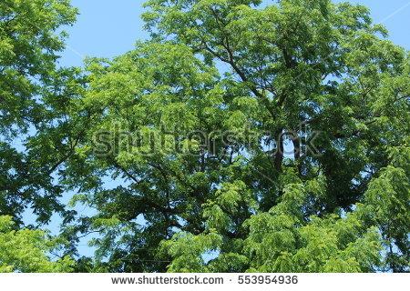 Black Walnut Tree Stock Photos, Royalty.