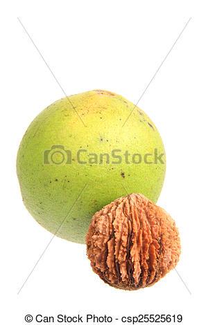 Stock Photography of Black walnut (Juglans nigra).