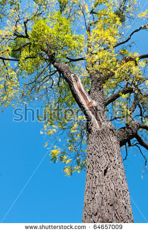 Old Black Walnut Tree Juglans Nigra Stock Photo 64657036.