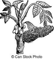 Vectors of Eastern Black Walnut or Juglans nigra, vintage engraved.