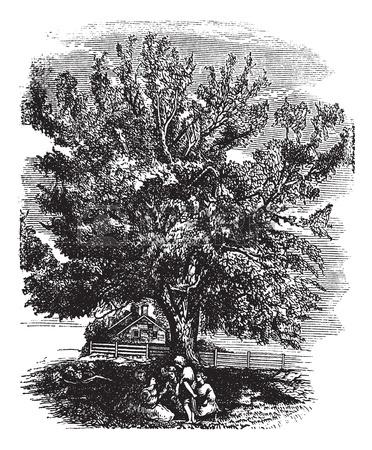 Eastern Black Walnut Or Juglans Nigra, Vintage Engraved.