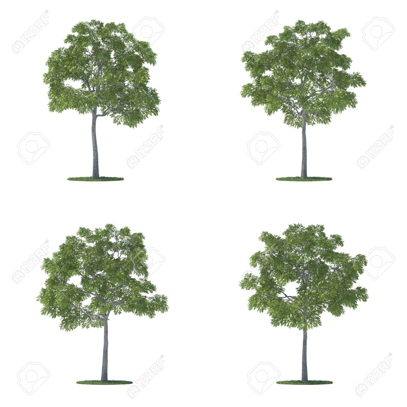 Juglans Nigra Trees Collection Isolated On White Stock Photo.