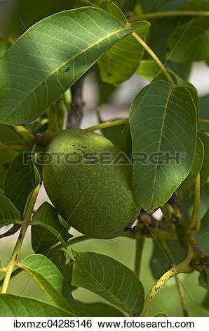 Stock Images of Walnuss (Juglans regia) am Baum, Sachsen.