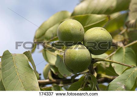 Picture of English Walnut, Persian Walnut (Juglans regia). Unripe.