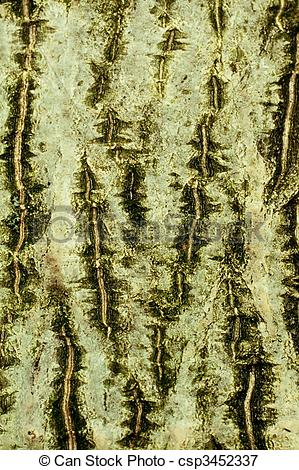 Picture of Background of bark of Common walnut, Juglans regia.