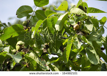 Juglans Regia Stock Photos, Royalty.