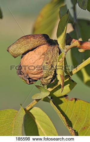 Pictures of English Walnut, Persian Walnut (Juglans regia). Fruit.