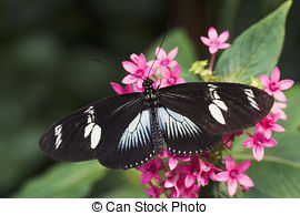 Stock Image of Heliconius julia butterfly..