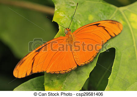 Stock Photography of Julia Butterfly.