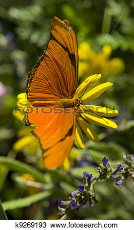 Stock Photo of Julia Butterfly k9269193.