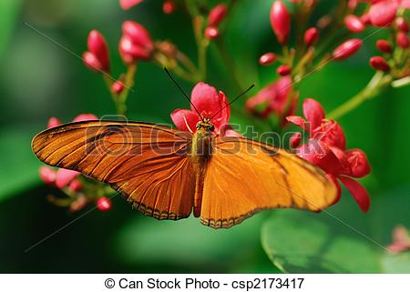 Picture of Julia Butterfly or Julia Heliconian on a flower (Dryas.