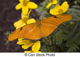 Stock Photo of Julia Butterfly and flowers.