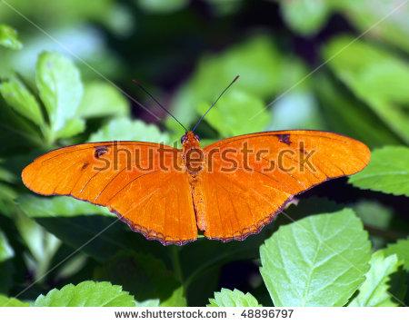 Julia Butterfly Stock Photos, Royalty.